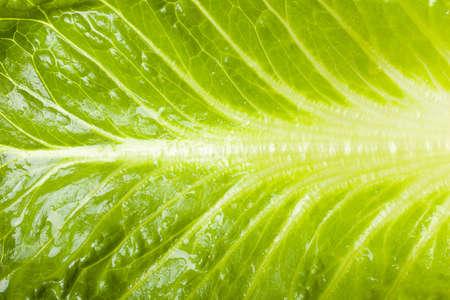 Fresh green romaine lettuce against a white background photo