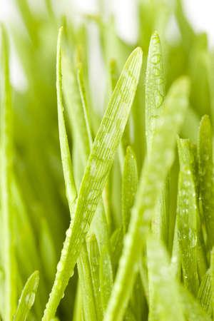 Fresh Green Organic Wheat Grass against a background photo