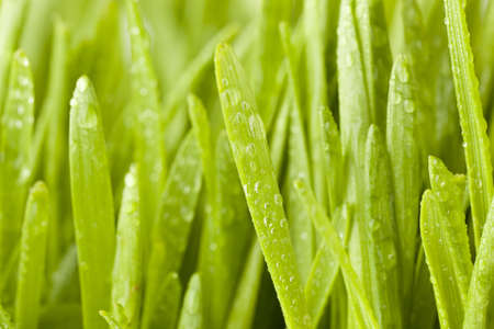 Fresh Green Organic Wheat Grass against a background Stock Photo