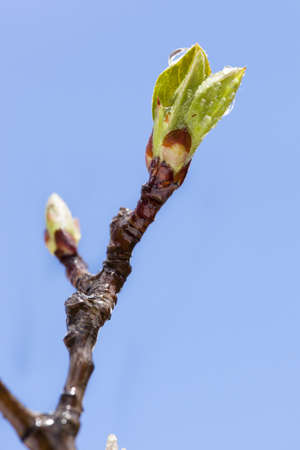 Young Green Tree Leaf Budding in early spring