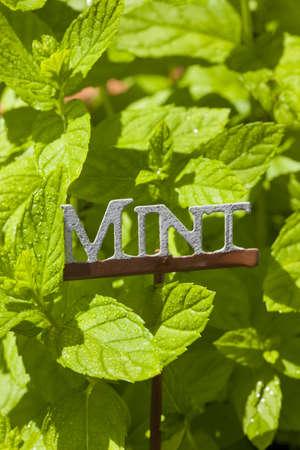 Fresh Green Herbal Mint Leaves in a garden