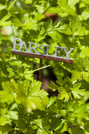 Fresh Green Herbal Parsley Leaves in a Garden Banque d'images