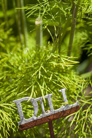 dill leaves: Fresh Green Herbal Dill Leaves in a Garden