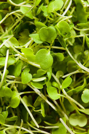 Raw Green Arugula Microgreens on a Background Banco de Imagens