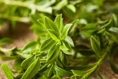 Raw Organic Green Savory Herb in a Bunch