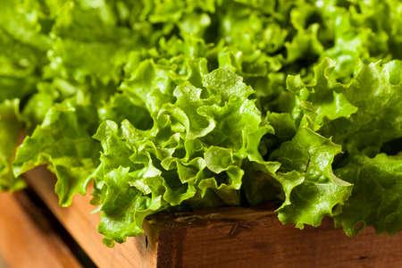 Fresh Healthy Organic Green Leaf Lettuce Ready to Eat Reklamní fotografie