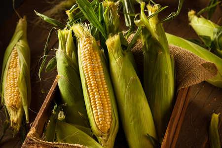Raw Organic Yellow Sweet Corns Ready to Cook