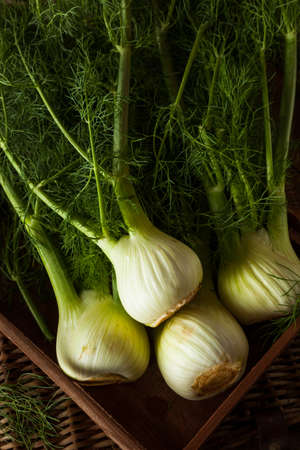 Raw Organic Fennel Bulbs Ready to Cook 写真素材