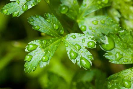 perejil: Perejil orgánico fresco verde en el jardín Foto de archivo