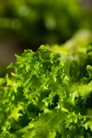escarola: Verde prima orgánica de la endibia Listo para comer