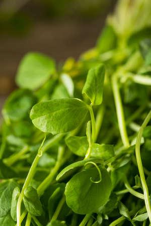 Organic Raw Green Pea Shoots Ready to Eat