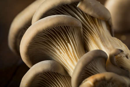 Raw Organic Oyster Mushrooms in a Bunch 스톡 콘텐츠
