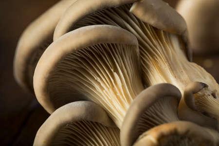 Raw Organic Oyster Mushrooms in a Bunch Foto de archivo