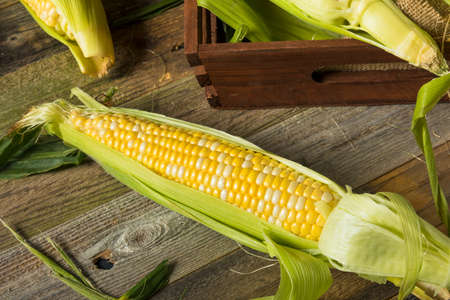 Raw Organic Yellow Corn on the Cob Ready to Eat