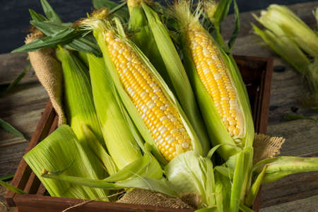 Raw Organic Yellow Corn on the Cob Ready to Eat