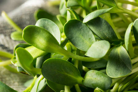 Raw Green Organic Sunflower Microgreens Ready to Eat
