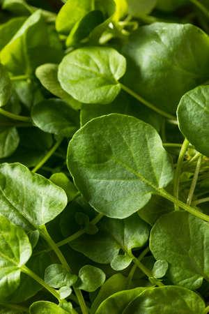 Rohe grüne Bio-Lebende Kresse in einer Schüssel Standard-Bild