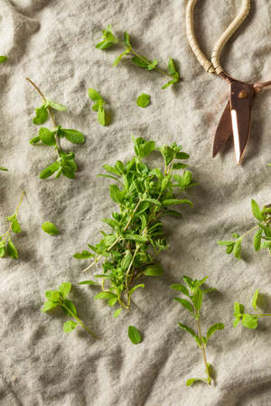 Organic Raw Green Marjoram Herb in a Bundle Zdjęcie Seryjne