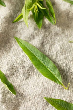 Green Organic Fresh Lemon Verbena Herb Leaves 版權商用圖片