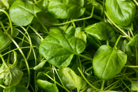 Raw Green Organic Watercress in a Bowl