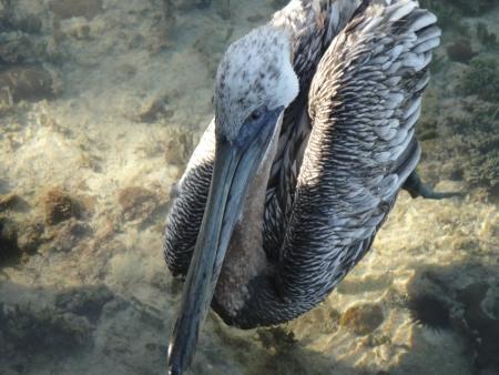 pelican in Belize Banco de Imagens