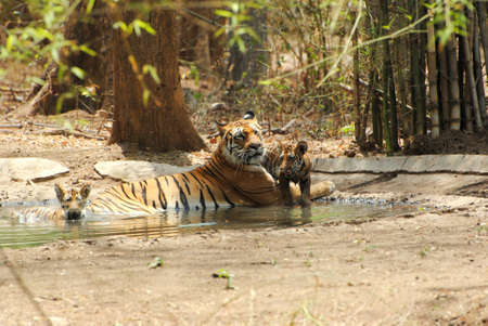 cubs: tigress with cubs Stock Photo