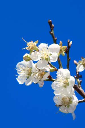 青い空に梅の花 写真素材