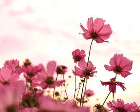 夕日とコスモスの花