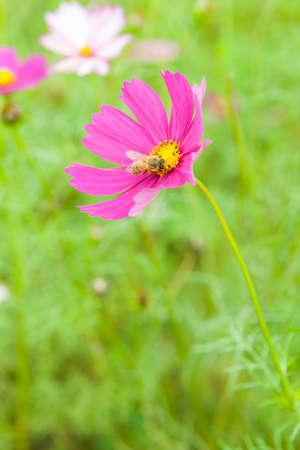 コスモスの花とミツバチ