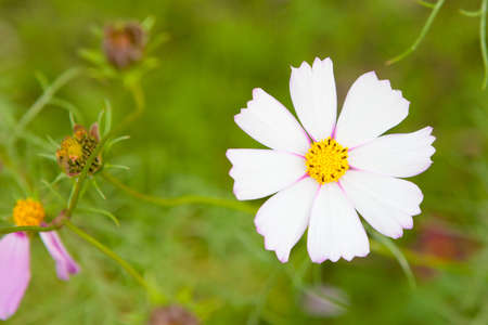 コスモスの花のクローズ アップ