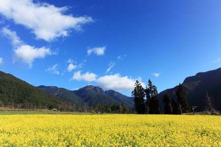 青い空と白い雲が台湾で咲く黄色のフィールド菜種