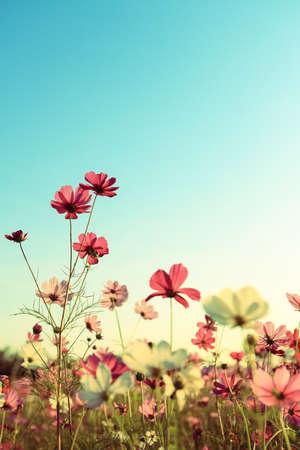 レトロなコスモスの花