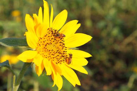 ひまわりに蜂 写真素材