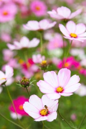 campo de flores: campo de flores de cosmos