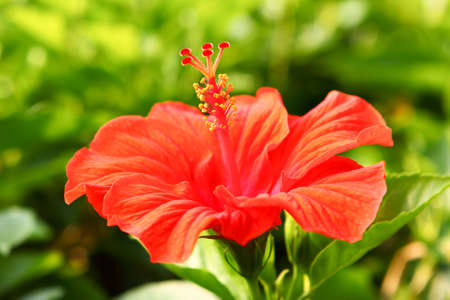 中国の赤いバラ ハイビスカス ローザ クローズ アップ