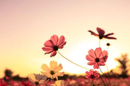 夕日とコスモス 写真素材