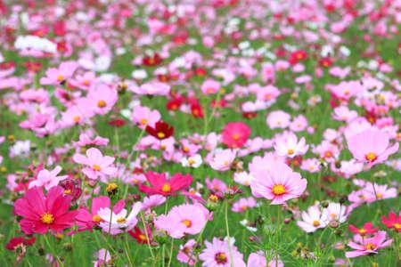 コスモスの花 写真素材