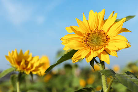 crop circle: Sun flower with blue sky
