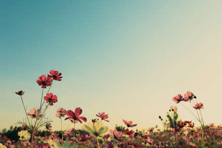 vintage landscape: cosmos flowers in sunset