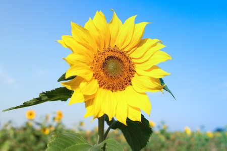 青い空と太陽の花