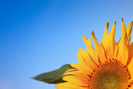 Sun flower: Sun Flower with blue sky