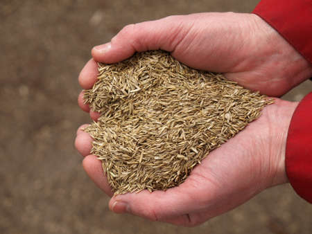 Handful of grass seeds ready for planting  in shape of heart  photo