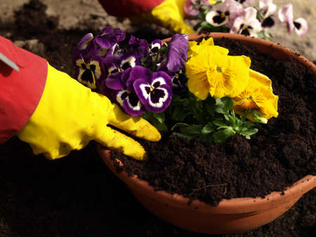 Planting pansy flower in flowerpot, garden work photo