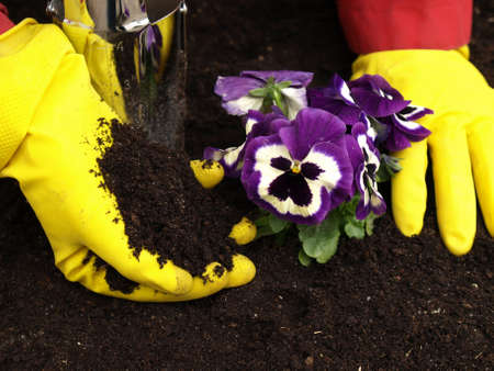 Violet pansy flowers planted in garden in spring photo
