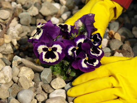 Pansy flower between the pebbles, close up photo