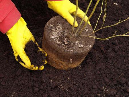 sembrando un arbol: Jardinero plantando un �rbol en el jard�n Foto de archivo