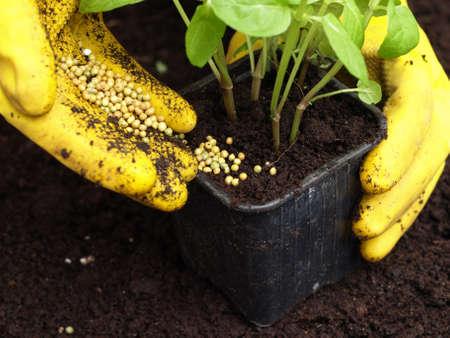 fertilizer: Gardener putting a fertilizer in the ground