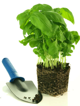 transplant: Fresh basil with roots ready to transplant, isolated