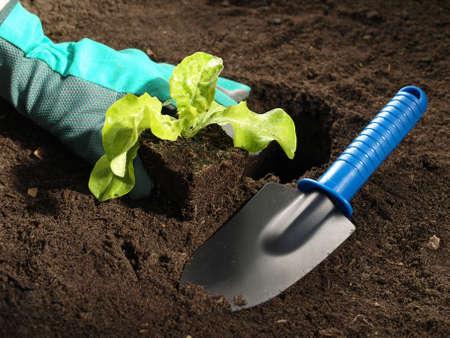 plating: Gardener working in garden and plating lettuce Stock Photo