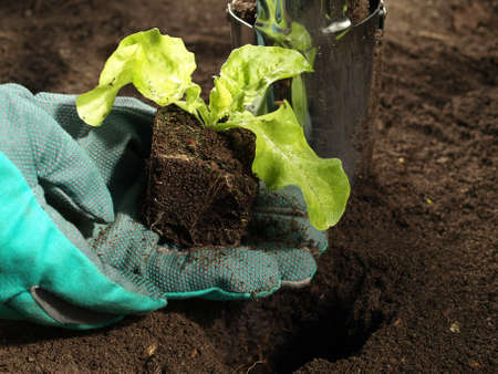 Primer plano del hombre sembrando una semilla de lechuga Foto de archivo - 13390160